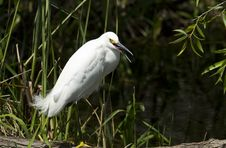 Free Snowy Egret (egretta Thula) Royalty Free Stock Photo - 13656255