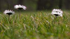 Free Common Daisy Stock Photos - 13656293