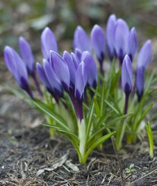 Free Blue Crocus Stock Photo - 13656340