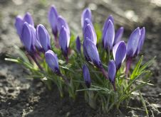 Free Blue Crocus Stock Photos - 13656343
