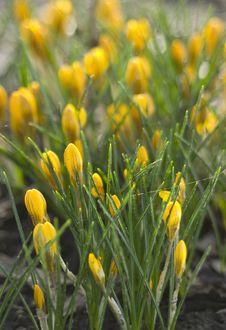 Free Yellow Crocus Stock Images - 13656344