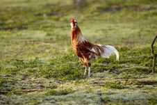 Free Brown White Cock In Pose Royalty Free Stock Photos - 13656438