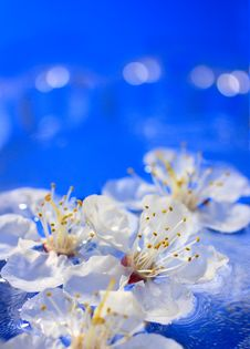 Flowers Of Apricot In Water Stock Images