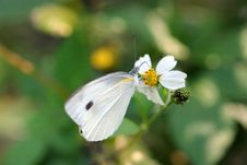 Free Butterfly (small Cabbage White) Stock Photo - 13657010