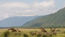 Free Giraffe Royalty Free Stock Photography - 13657347