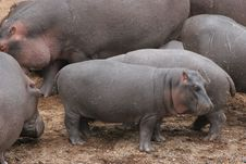 Free Herd Of Hippos Royalty Free Stock Photo - 13657715