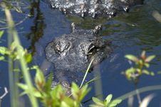 Free Alligator Is Watching You Stock Photography - 13657762