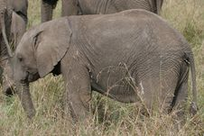 Free Elefant Cub Stock Photos - 13657973