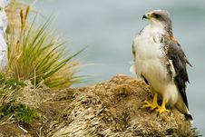 Free Red-backed Hawk Stock Image - 13658051