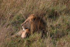 Free Male Lion Stock Photos - 13658053