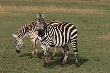 Free Two Zebras Royalty Free Stock Photography - 13658067