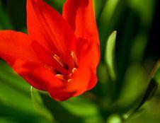 Free Red Tulip Stock Photos - 13658113