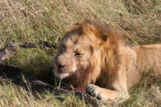 Male Lion And Prey Stock Images
