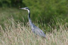 Free Heron Royalty Free Stock Images - 13658209