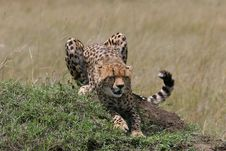 Cheetah Stretching Royalty Free Stock Photography