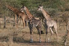 Free Giraffes Stock Photos - 13658343