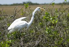 Free Great White Heron (Ardea Herodias) Royalty Free Stock Image - 13658356