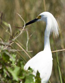 Free Snowy Egret (egretta Thula) Stock Photography - 13658402