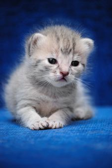 Free Kitten On A Blue Background Royalty Free Stock Photo - 13658435