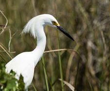 Free Snowy Egret (egretta Thula) Stock Photos - 13658513