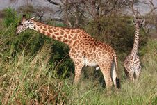 Free Two Giraffes Stock Photography - 13658592