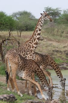 Free Three Giraffes Stock Photography - 13658652