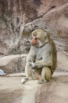 Free Baboon Thinking Stock Image - 13658671