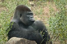 Free Silverback Gorilla Royalty Free Stock Photography - 13658687
