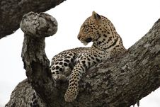 Free Leopard Stock Photography - 13658762