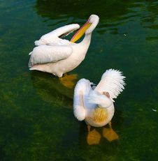 Two White Pelicans Royalty Free Stock Photos