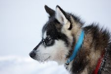 Polar-bear Hunter Sled Dog With Ice In Its Beard Royalty Free Stock Photo