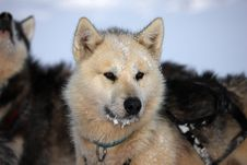 Free Polar-bear Hunter Sled Dog With Ice In Its Beard Stock Images - 13659124