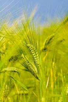 Green Rye Stock Photography