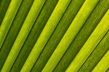 Free Palm Leaf Royalty Free Stock Image - 13659546