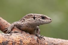 Free Portrait Of Sand Lizard Stock Photos - 13659713