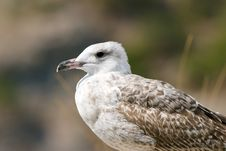 Free Seagull On The Rock Stock Image - 13659751