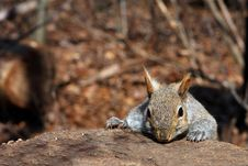 Free Gray Squirrel Stock Photo - 13659860