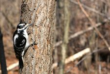 Free Hairy Woodpecker Female Royalty Free Stock Image - 13659876