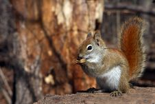 Free Red Squirrel Royalty Free Stock Photography - 13659897