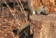 Free Red Squirrel Stock Photography - 13659902