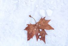 Free Dry Fallen Maple Leaf On White Snow Background Stock Photos - 136556893