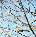 Free Mockingbird Royalty Free Stock Photography - 13661867
