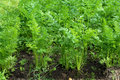 Free Green Leaves Of Growing Carrot Stock Photography - 13662162