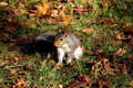 Free Squirrel In Autumn Stock Photos - 13663343