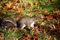 Free Squirrel In Autumn Stock Photography - 13663352
