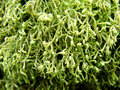 Free Close Up Of Green Moss Royalty Free Stock Images - 13664909