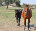 Free Mother And Baby Horse Walking Stock Photo - 13665200