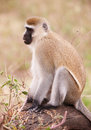 Free Black-faced Vervet Monkey In South Africa Stock Photo - 13665590