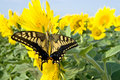 Free Old World Swallowtail Butterfly Royalty Free Stock Image - 13666126