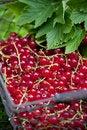 Free Redcurrant Royalty Free Stock Photo - 13666385